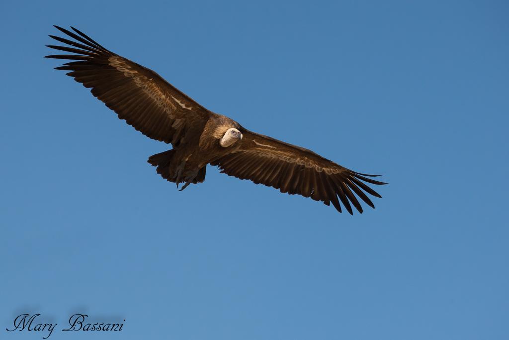 7373-1558353034_avvoltoio-2_muladar.jpg.jpg